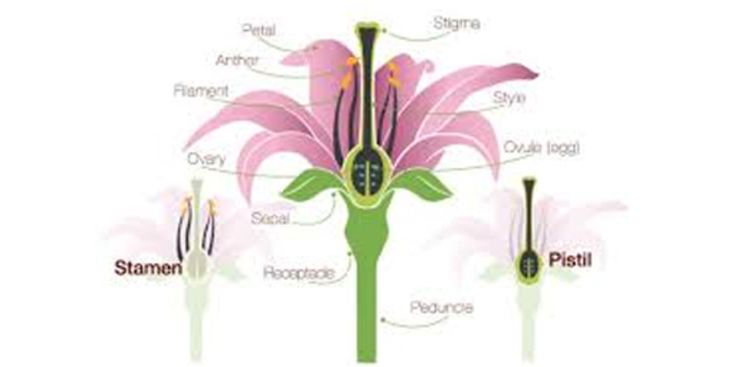 Anatomy of Flowering Plants Theory & Quiz