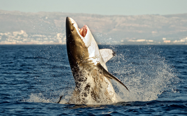 Interesting fact: <br>Sharks have been around longer ...