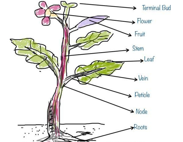 Getting To Know Plants - CBSE Class 6 - Science