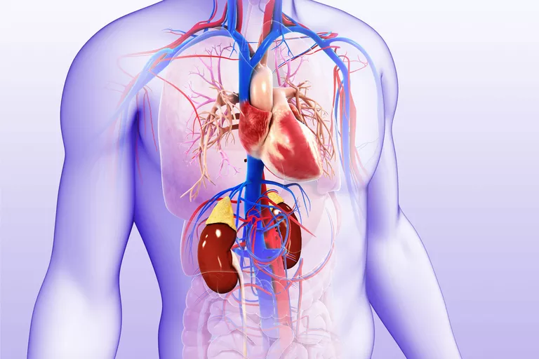 Illustration of male kidneys and heart