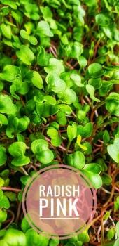 Radish Pink Micro green - 50 Gms