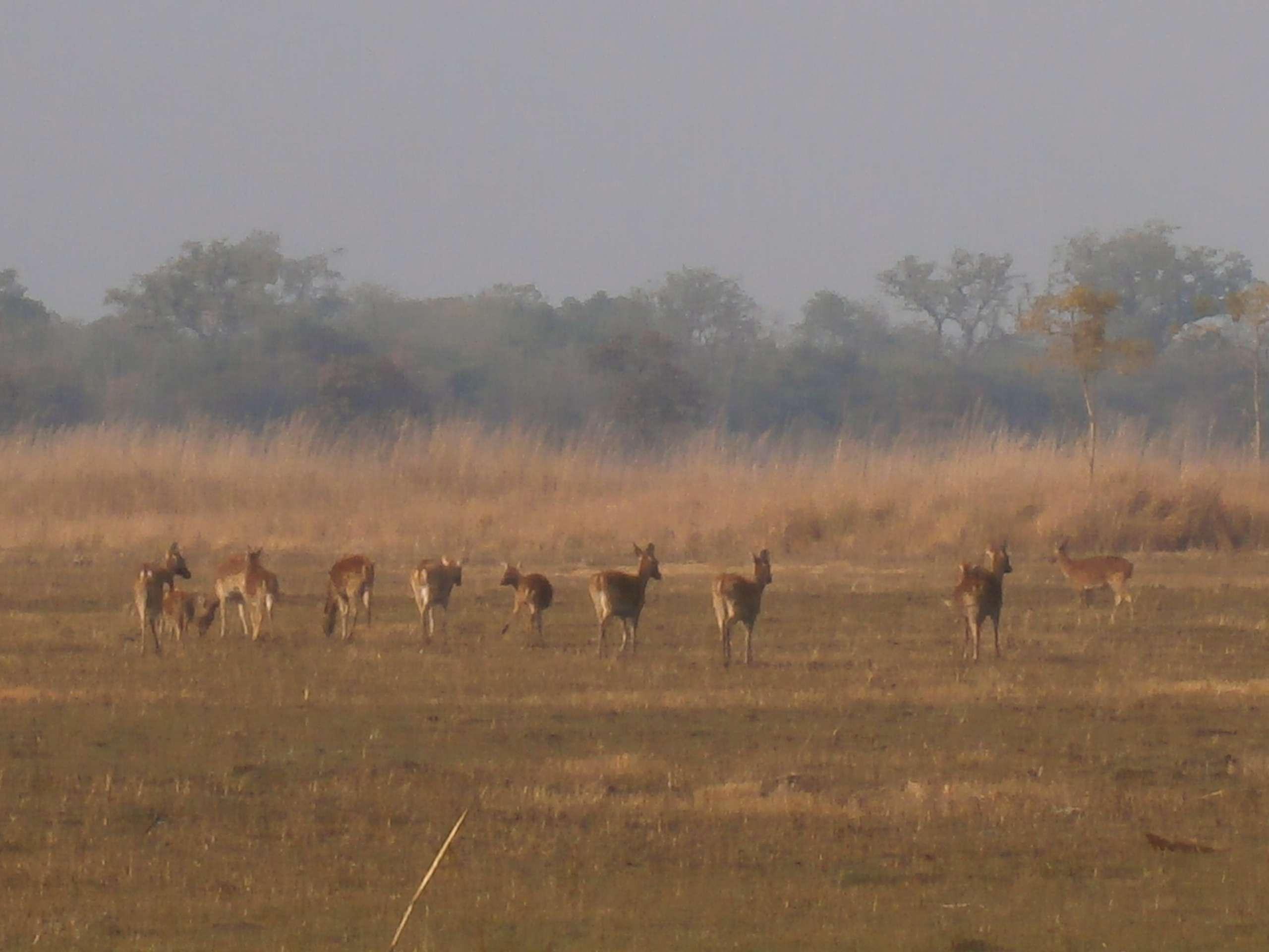 Deer seen on the grasslands of Suklaphanta national park