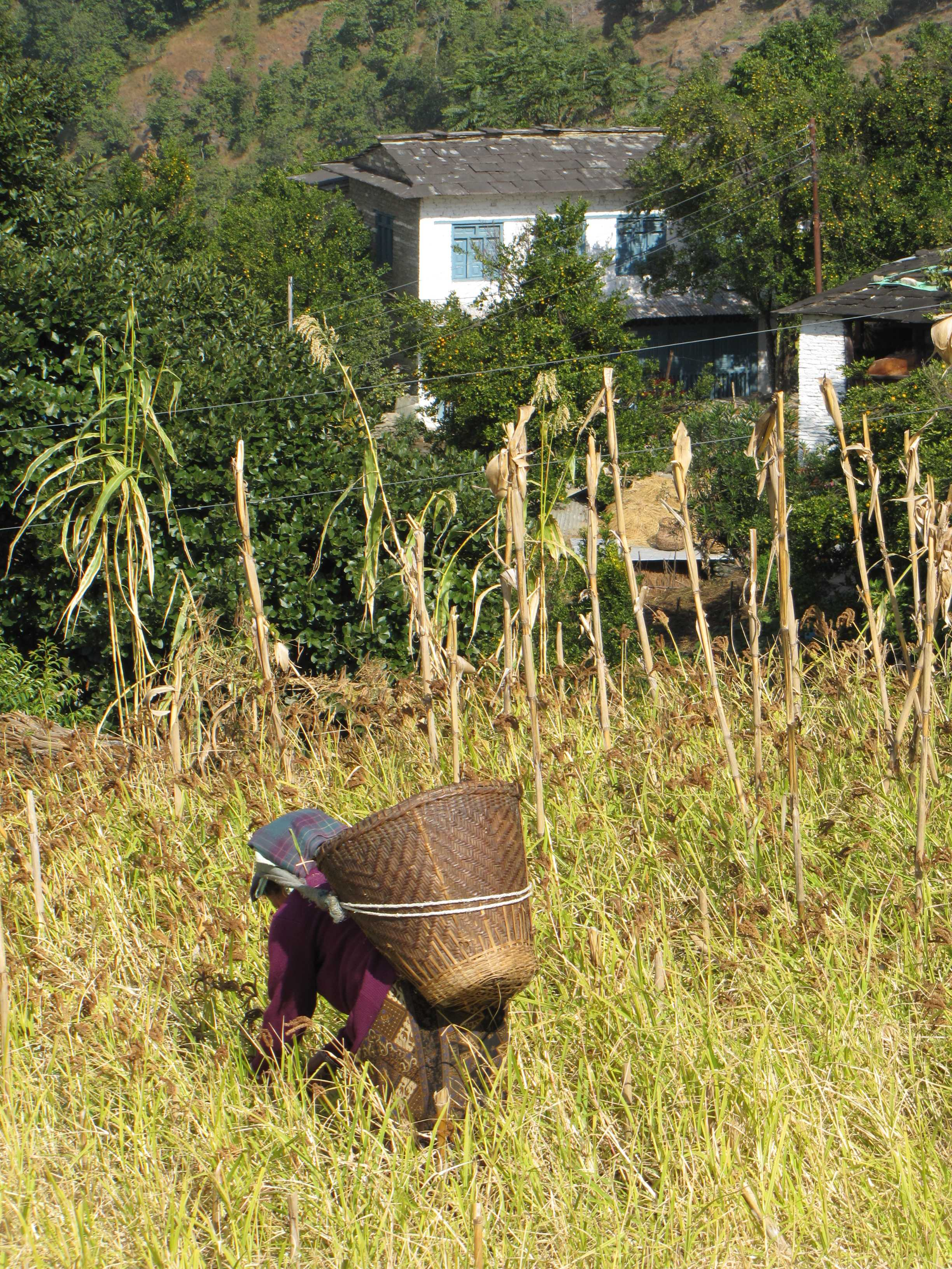 A villager working in field, a scene common through the Annapurna Community Trek
