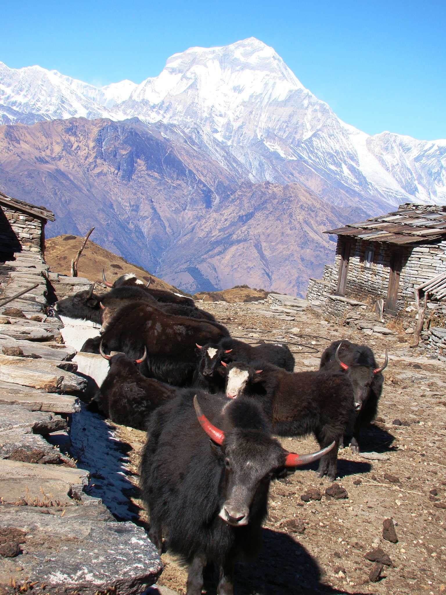 Herds of Yak seen during the Annapurna Community Trek