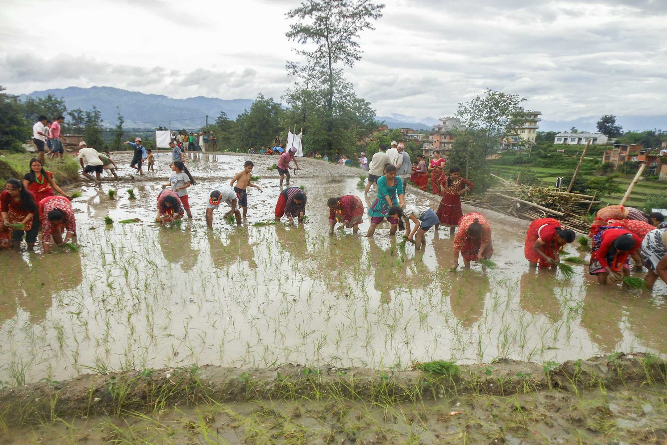 Villagers planting paddy in the fields