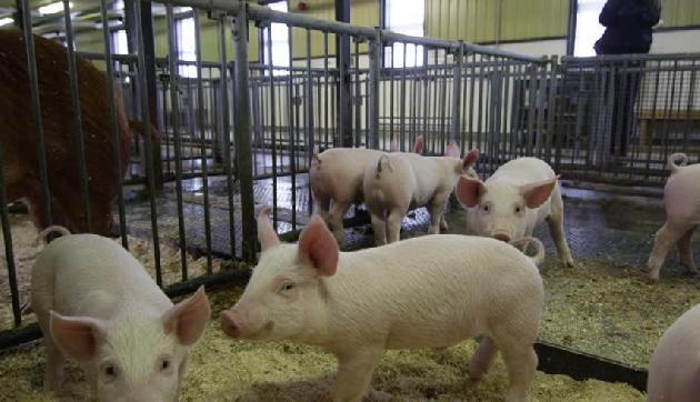 इस संक्रमण के कारण मिजोरम में हुई 1,146 सुअर की मौत, प्रभावित हैं ये इलाके