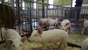 संक्रमण के कारण मिजोरम में बढ़ी सुअर मौत, आंकड़ा पहुंचा 1,348
