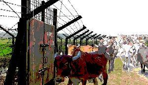 सीमा सुरक्षा बल के जवानों ने 77 मवेशियों को जब्त किया