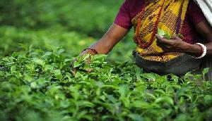 दार्जिलिंग : चाय की पत्ती तोड़ने की रोक को लिया वापस, 17.50 रुपये की बढ़ोत्तरी दर पर श्रमिक संगठन हुए तैयार