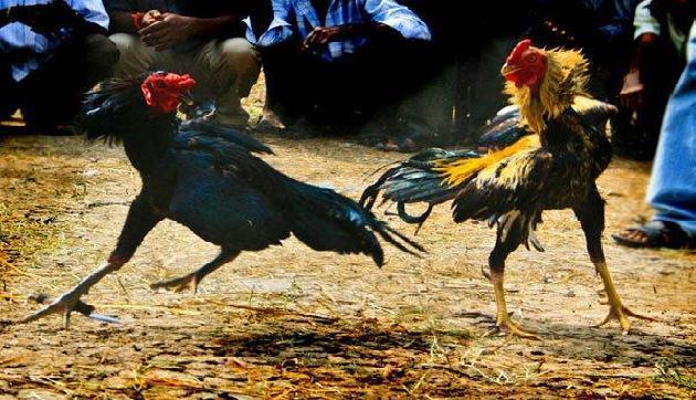 मुर्गे ने ले ली इस युवक की जान, देखने वालों के हो गए रोंगटे खड़े
