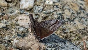 अरुणाचल प्रदेश में मिली तितली की नर्इ प्रजाति, फेसबुक पोस्ट से हुआ खुलासा