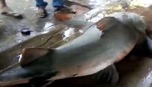 असमः जाल में फंसी 112 किलो की मछली, कर्इ लोगों ने मिलकर निकाला बाहर