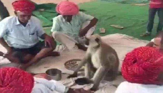 नशे का एडिक्ट है यह बंदर, जमकर खाता है अफीम, Viral हुर्इ तस्वीरें