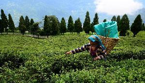 सिक्किम की टेमी चाय की दीवानी है दुनिया, जानिए इसका पूरा इतिहास