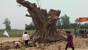 जब अचानक खड़ा हो गया कटा हुआ पेड़, लोग रह गए दंग