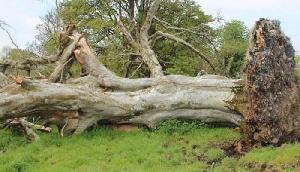तूफान में गिरा 215 साल पुराना पेड़, जड़ों में फंसा था कुछ ऐसा, बुलानी पड़ी police