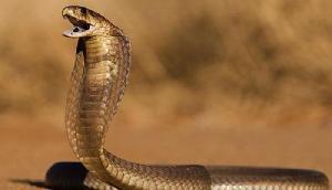 बच्चों को बचाने के लिए कोबरा से भिड़ी मां, एक की बच पाई जान