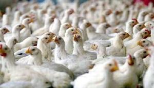 फार्म से गायब हो रही थी मुर्गियां, सामने आई सच्चाई तो सब के उड़ गए होश
