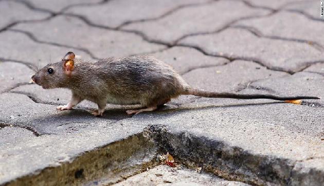 Chicken-मटन को भूल जाइए, भारत के इस गांव में 200 रुपए किलो बिकता है चूहा