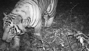 सिक्किमः जंगल में घूमते हुए पाया गया रॉयल बंगाल टाइगर, कैमरे में पहली बार हुआ कैद