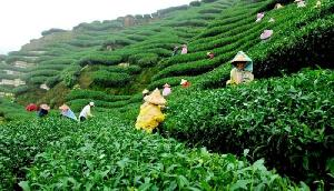 चाय श्रमिकों को बोनस देने का फरमान, पढ़िए पूरी खबर