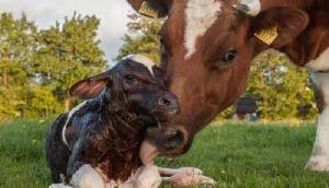 गाय ने दिया भैंस के बच्चे को जन्म, देखने वाले रह गए हैरान