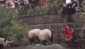 तीन खतरनाक जानवर के बाड़े में गिरी 8 साल की बच्ची, VIDEO में देखें आगे का हाल