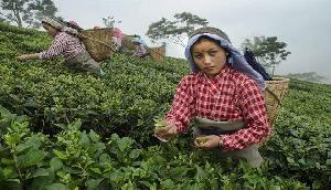 देश के हर कोने में मिलती है यहां की चाय, 8 लाख लोग जुड़े हैं टी उद्योग से