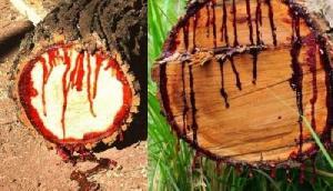 इस पेड़ से इंसानों की तरह काटने पर निकलता है खून, सच्चाई जानकर उड़ेंगे होश