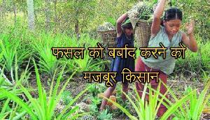 Tripura के किसानों को हाल हुआ बेहाल, लोग इस तरह कर रहे है अपने फसल को बर्बाद