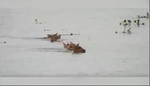 पानी में बहे हिरण, वीडियो हुआ वायरल, देखकर दंग रह जाएंगे आप