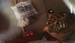 बारिश से दुखी होकर घर में बेड पर आ बैठा बाघ, गांव में मचा हाहाकार