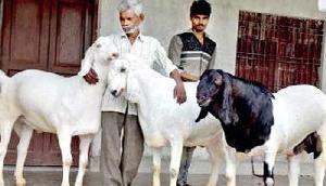 22 लाख में बेचा तीन बकरा, जानिए क्या है विशेषता