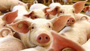 इस राज्य को सुअर पालन के लिए मदद देगी मोदी सरकार