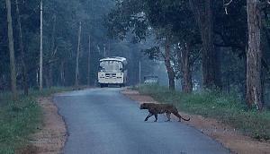 गलती से सड़क पर आया तेंदुआ, वाहन से टकराकर हुई मौत