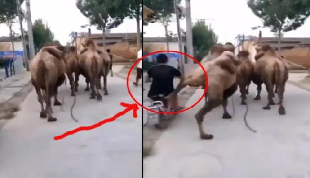 गलत साइड से ओवरटेक कर रहे बाइक सवार को ऊंट ने सीखाया सबक, देखें वीडियो