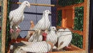 दुर्गा पूजा पंडाल में 300 पक्षियों को पिंजरे में बंद रखा, बीजेपी विधायक ने कही ऐसी बात