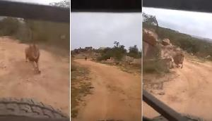 जब अचानक गाड़ी का पीछा करने लगा शेर, अटक गई थी लोगों की सांसें