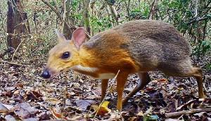 OMG! 30 साल बाद दिखाई दिया हिरण जैसा दिखने वाला चूहा, कैमरे में हुआ कैद