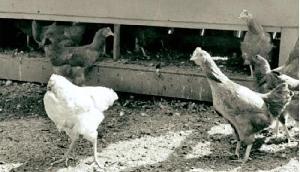 ऐसा मुर्गा, जो सिर कटने के बाद भी 18 महीने तक रहा जिंदा, देखने के लिए लगते थे पैसे