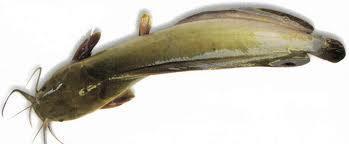 Desi Magur (4-5 Pcs per kg)