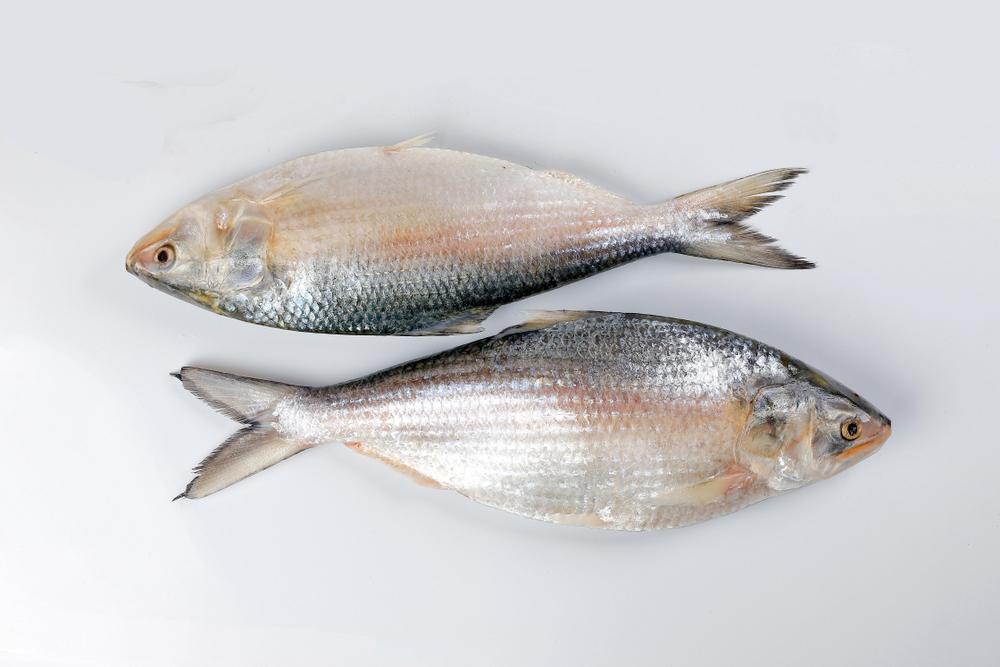Hilsa / Ilish Fish ( 1 -1.2 kg )