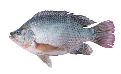 Nilontika Fish (2-4 Pcs Per Kg)