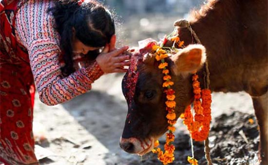 The Worshiping Of Cows In Maharasthra