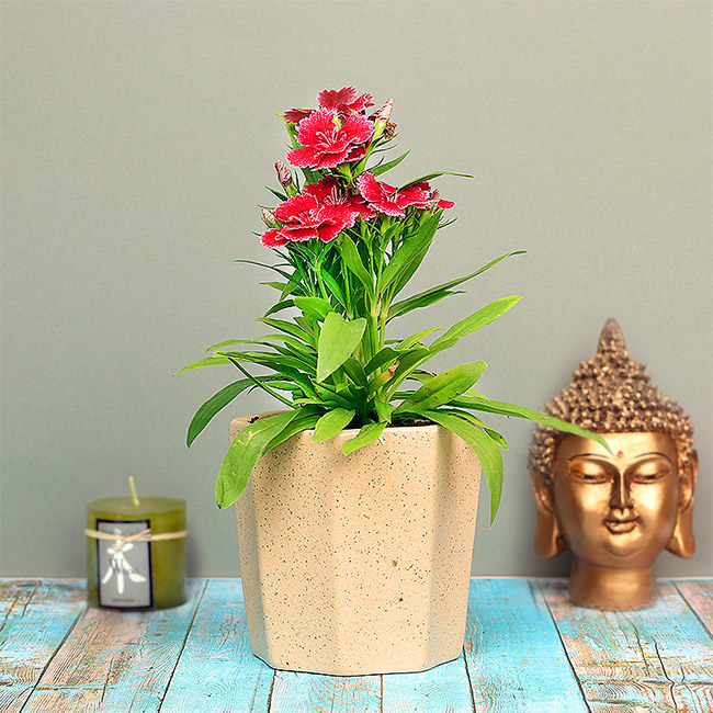 Dianthus Barbatus plant
