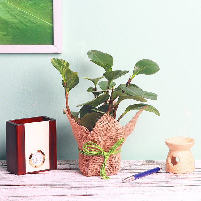 Peperomia Plant in a Vase