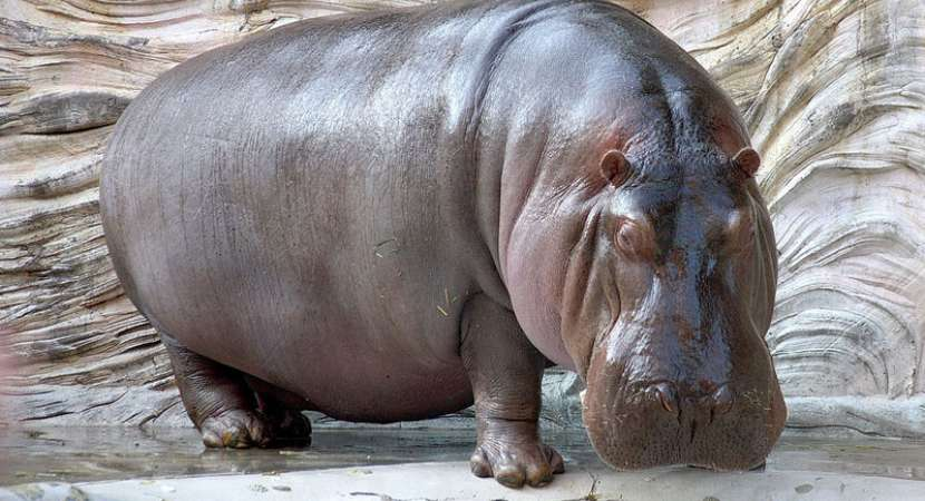 Suspected anthrax outbreak kills 107 hippos in Namibia's biggest game parks