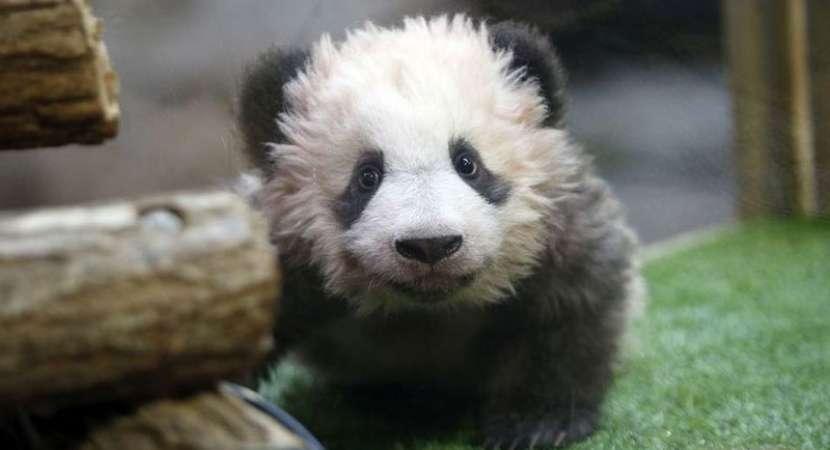 First Panda born in France named Yuan Meng