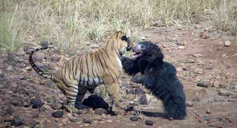 Fierce fight between tiger and sloth bear in Maharashtra's Tadoba National Park