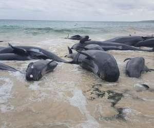 Shark alert in Australia after mass whale stranding at Hamelin Bay